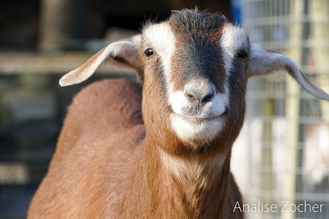 Goat simulator (Sociedad del Desfase)